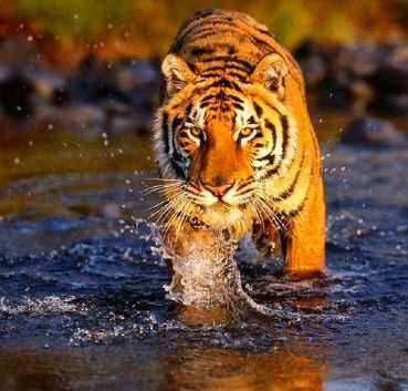 Tour and safari in the land of Indian tigers